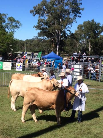 Class 1 Bull 6 months under 9 months First - Kandanga Valley Lauchie