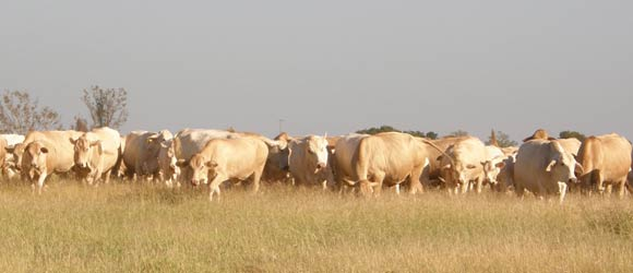 Charbray Cattle