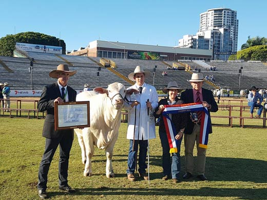 Grand champion Charbray bull Colinta Mentor with judge Paul Connor held by Scott Lintott sashed by Roz Mercer & Blake Munro, Elders.