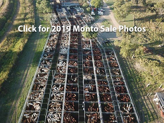 2019 Monto Cattle and Country Annual Charbray Feature sale .