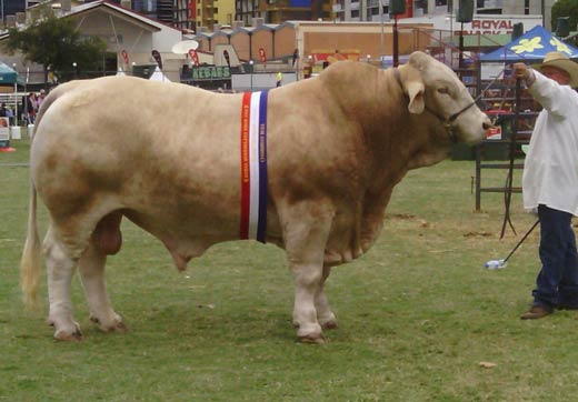 Kandanga Valley Jesuit - Grand Charbray Champion Bull - Royal Brisbane Show 2016
